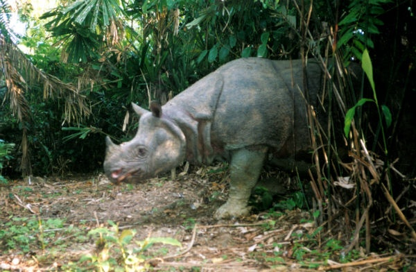 Population: < 100 individuals.  Once found throughout southeast Asia, the Javan rhino is now on the brink of extinction, with only a small population left in the Ujung Kulon National Park in Indonesia. Though the species is legally protected, it is still poached for traditional Asian medicine, with its horn rumored to cure everything from impotence to cancer. (It does not.) The rhino is already extinct in Vietnam, and is under severe pressure in Indonesia.