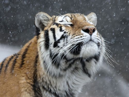 Tiger loving the snow