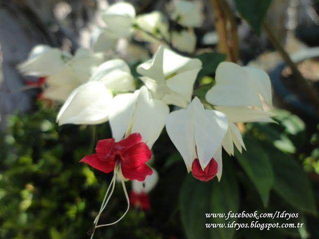 Beyaz kanayan kalpler , Kanayan Kalpler sarmaşığı , Clerodendrum thomsoniae ,  Clérodendron grimpant