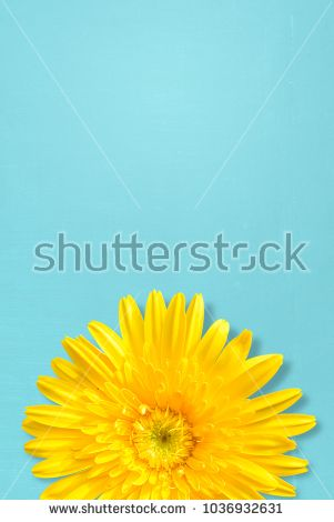 yellow gerbera flower on blue wood background