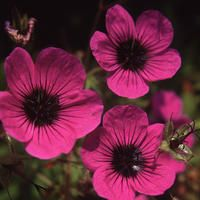 Geranium psilostemon 1 seeds
