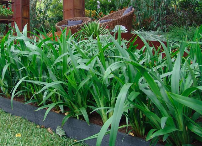 248 best landscape gardening plants images on pinterest native emerald arch dianella suits mass plantings specimen plantings and low water gardens thecheapjerseys Image collections