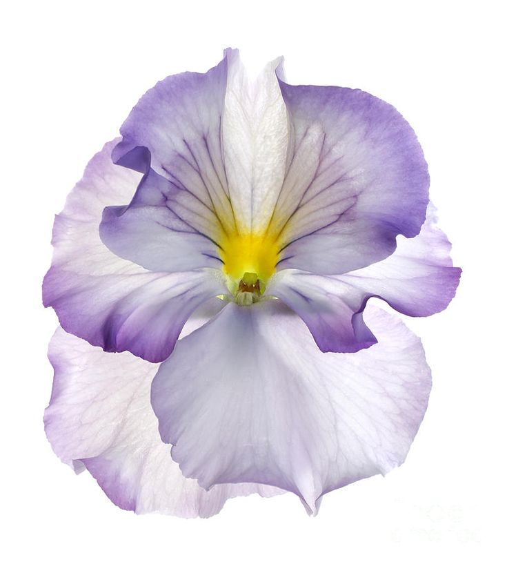 Pansy Photograph by Tony Cordoza - Now to find an artist who could do this as a tattoo