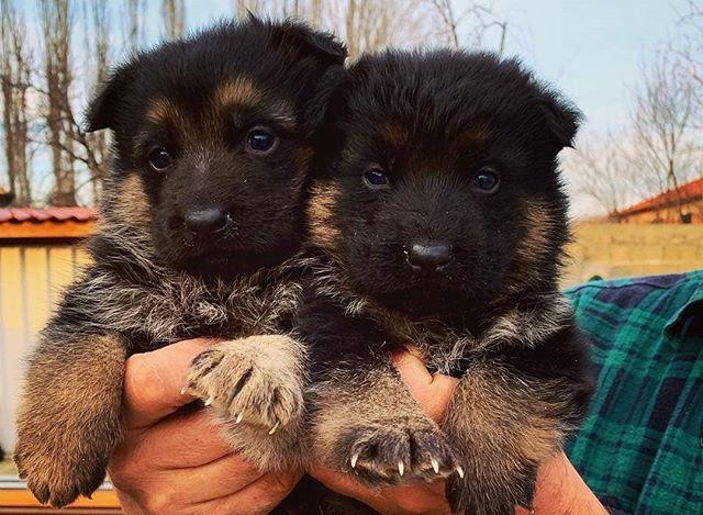 Puppies Everywhere Kennel Alexander Germanshepherd Gsd