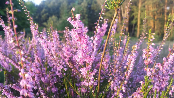 Heather #heather #autumniscoming #flower #evening #walk #nature #petal #floral