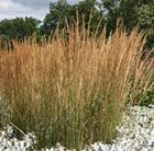 (G3) Calamagrostis × acutiflora 'Karl Foerster' feather reed grass Position: full sun/partial shade Soil: dry or wet, well-drained Rate of growth: fast Flowering period: early summer - autumn Hardiness: fully hardy H: 160-180 cm S:60-80 cm A stiff erect habit is the defining feature of this grass. Early to get going perennial grass, its shoots appear in early spring followed by flowers that are green fading to buff