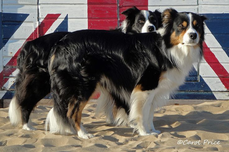 Border collies - pride of Britain. How lucky are we to own the finest breed in the world?