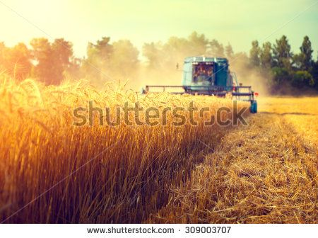 Harvester machine to harvest wheat field working. Combine harvester agriculture machine harvesting golden ripe wheat field. Agriculture