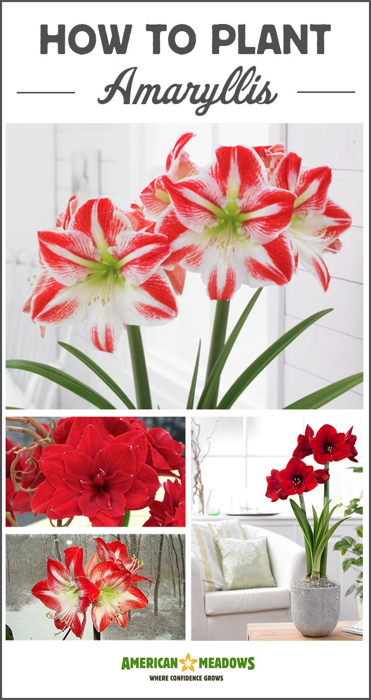 Brighten up your indoor space this winter with Amaryllis bulbs. Learn everything you need to know about growing this beauties in our planting guide.