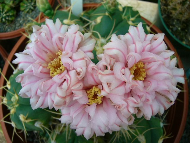 https://flic.kr/p/843YJE | Gymnocalycium horstii v bueneckeri | I love these pink striped, luxuriant flowers.