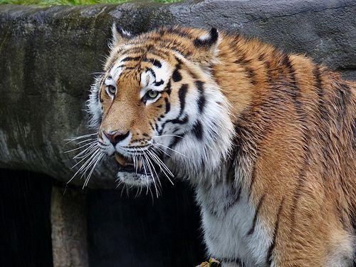 sibirischer Tiger Lailek, rainy day. - http://www.1pic4u.com/blog/2014/12/13/sibirischer-tiger-lailek-rainy-day/