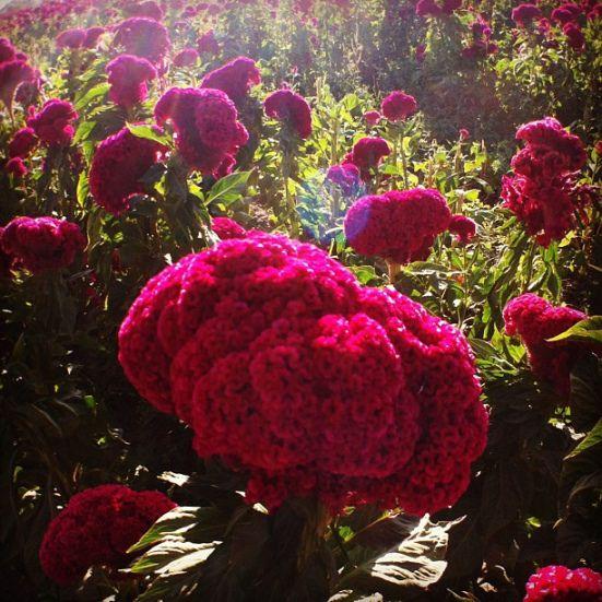 Flor de terciopelo. Su origen probablemente se dio en Asia, aunque actualmente se cultiva en todo el mundo. Otros nombres con los que se conoce a estas flores son cresta de gallo, mano de león y celosía.
