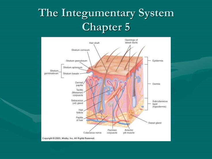 The Integumentary System Chapter 5 Integumentary system