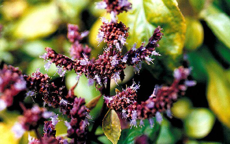 Patchouli flower