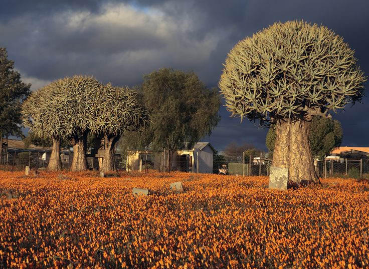 """Karoo. Old Loeriesfontein cemetery with Namaqualand Daisies (in bloom during early September) and Quiver Trees Aloe dichmotoma). GPS = 30° 57'02.93"""" South and 19° 26' 00.35"""" East. Elevation = 901m."""