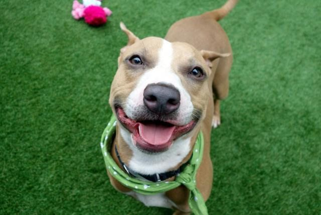 """JORDAN - 7818 (ALT ID A1125545) - - Manhattan  TO BE DESTROYED 10/10/17: ****CAN BE PUBLICLY ADOPTED**** A volunteer writes: """"When you're smiling, when you're smiling, the whole world smiles with you,"""" sings Jordan. And indeed, his perpetual smile is either an all out grin, or a hint of a smile a la Mona Lisa! Fantastic! His gorgeously clean tan coat, wagging tail and perfect physique speaks of a home in which all his physical needs were met. A bit s"""