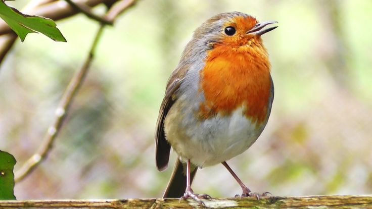 The Morning Chorus - European Robins & other Birds Singing and Chirping in The Morning - Video and Bird Song