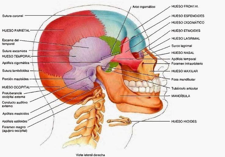 39 best Anatomía de la cara images on Pinterest   Anatomía, Anatomía ...