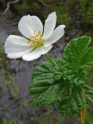 Rubus chamaemorus in full bloom. Hilla kukkii.