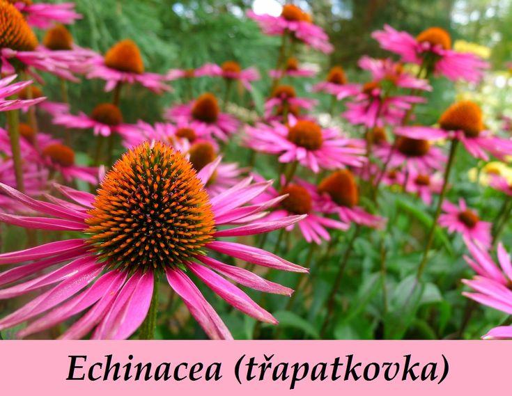Echinacea třapatkovká účinky