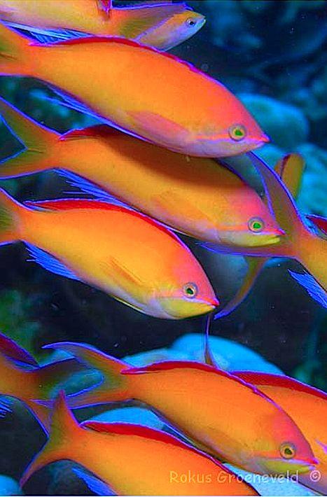 Redfin Anthias - ©Rokus Groeneveld www.diverosa.com/Gili/IGI-35%20Pseudanthias%20dispar,%20Redfin%20Anthias.html