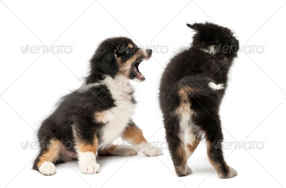 Two Australian Shepherd Puppies 2 Months Old Play Fighting