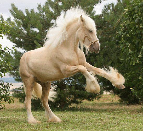 Rearing palomino draft horse