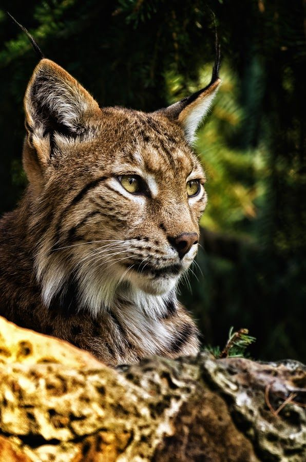 Pin by jld web on animals wildlife Big cats, Small wild