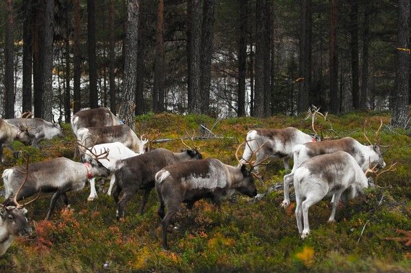 Santa´s reindeers ;)  Photo by Saga  Sweden