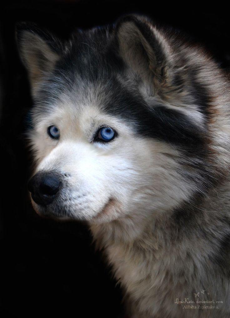 56 best Alaskan Malamute images on Pinterest Alaskan