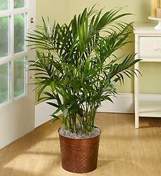 Cat palm tree is one of the most beautiful, tropical house plant palms. It's easy to please if you can give it bright light. Find out how to grow, water, fertilize cat palms.