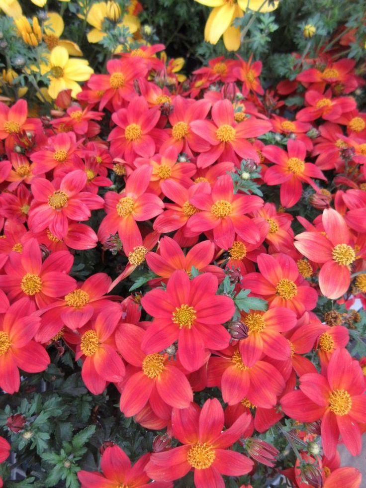 Bidens Taka Tuka® 'Red Glow' in 2020 Botanical gardens