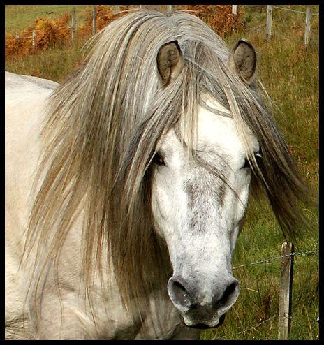 Highland ponies for sale- U.K Breeder in scotland offering highland ponies of all ages for sale