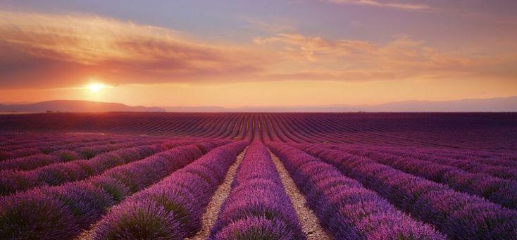 Лавандовые поля Прованса во Франции