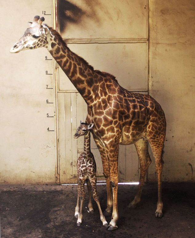 Mom and son: Audrey gave birth at 9.28 p.m. Saturday after about five hours of labor. Giraffes have a 14.5-month gestation period. The Masai is the largest subspecies of giraffe, growing up to 17 feet tall