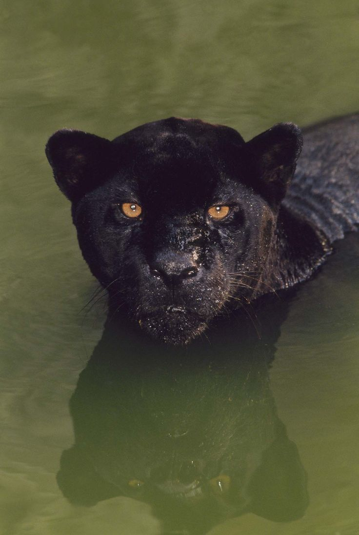 """What's a Black Panther, Really?  A black jaguar(Panthera onca)crouches in a pool of water in Brazil. Black jaguars are also called black panthers, which is an umbrella term for any big cat with a black coat. the coloring comes from a surplus of melanin, the same pigment responsible for suntans, and an animal with the condition is known as """"melanistic."""" In diect sunlight it's spots can be seen as black on black."""