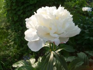 Winter Care of Peonies | Garden Guides