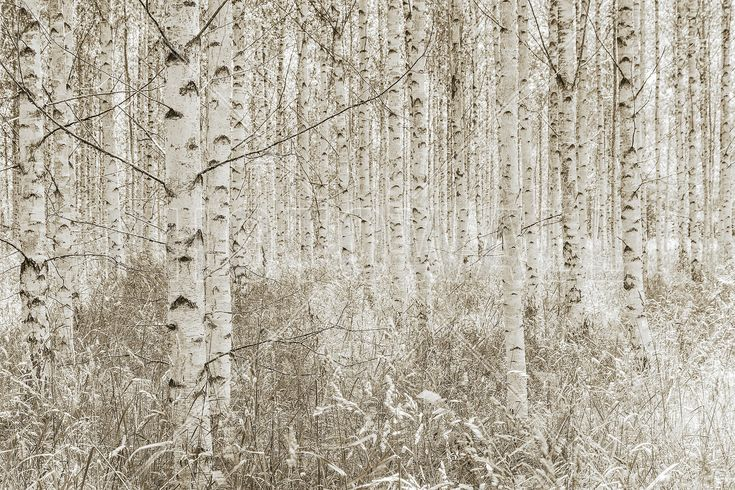 Quiet Birch Forest - Wall Mural