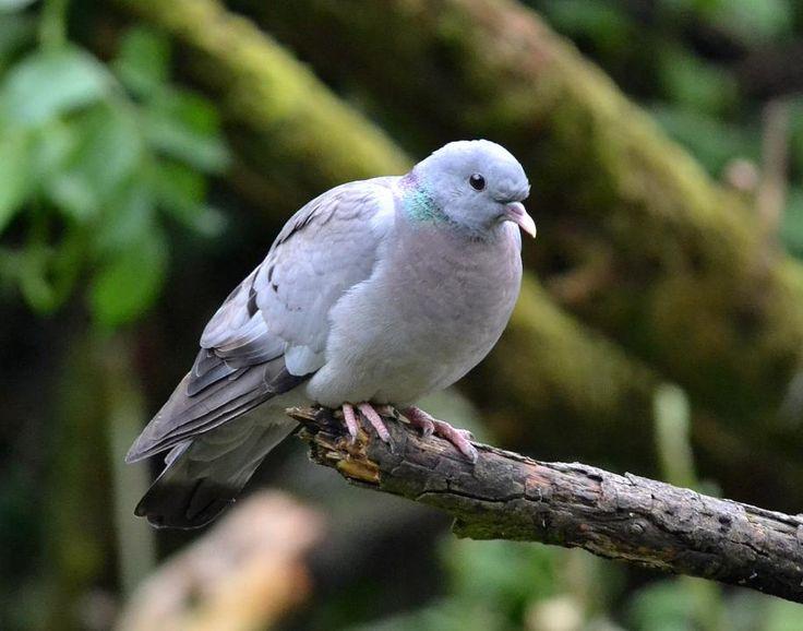 Stock Dove...