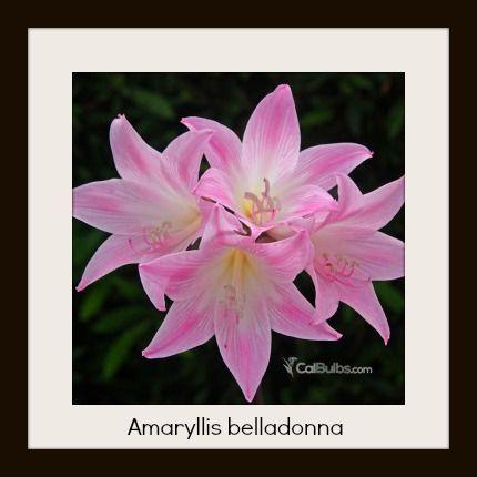 9 best images about amaryllis belladona on pinterest for Signification amaryllis