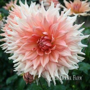 Buy dahlia tubers at Lynch Creek Farm. Purchase flowers online! Over 300 varieties.