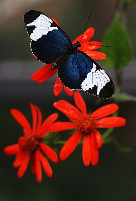 Red petals and Butterfly<3