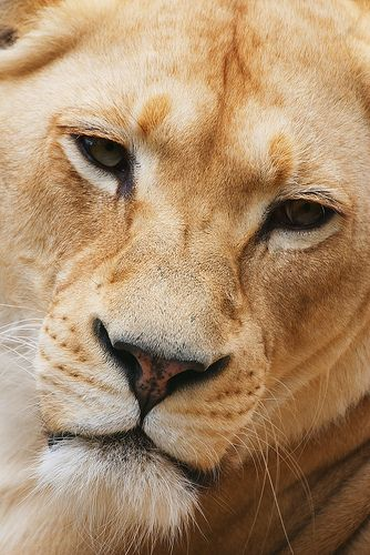 What an absolutely gorgeous animal. I love big cats, especially lionesses. :)