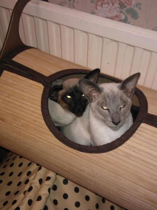 Siamese/Orientals cats.Lilac point,Seal tabby silver Siamese,Seal point,.  シールおかしい子猫銀シャム