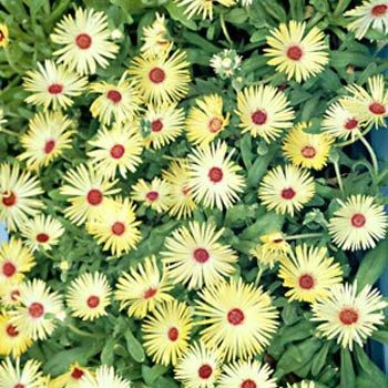 Livingstone Daisy Yellow: 4 inches tall, perennial groundcover