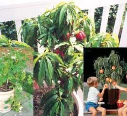 patio fruit trees | Growing Patio Fruit Assortment Potted - Peach Trees - Plant Manuals ...