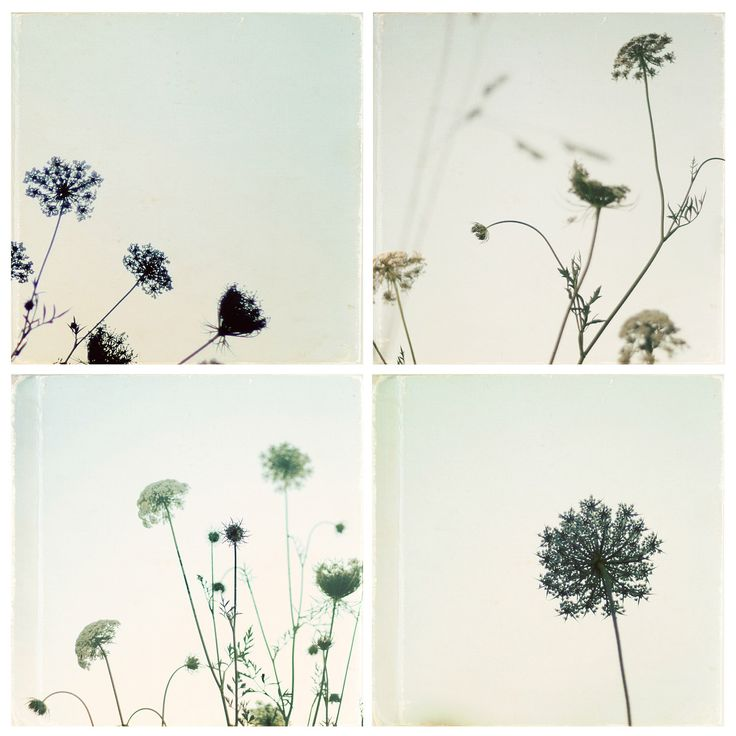Queen Anne's Lace flower photo set - 4 wildflower photos - pale blue country flower, shabby chic photo set, cottage chic, nature photography by SusannahTucker on Etsy https://www.etsy.com/listing/108470550/queen-annes-lace-flower-photo-set-4