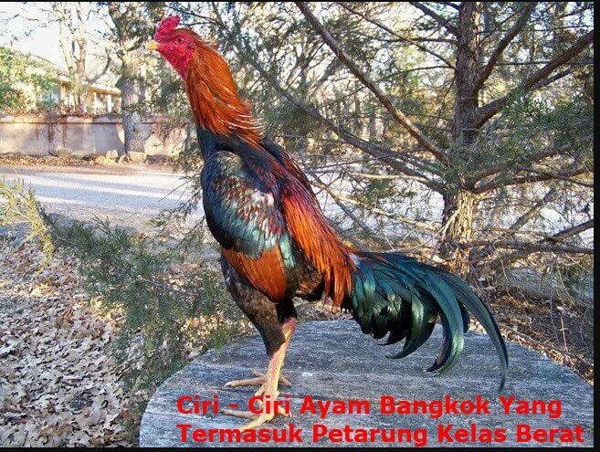 Foto Ayam Siam Super Ciri Ciri Ayam Bangkok Yang Termasuk Petarung Kelas Berat
