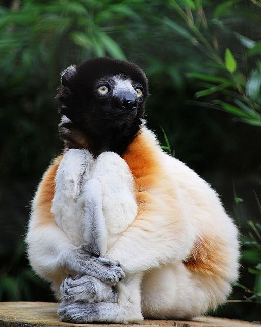 Sifaka- a lg. lemur leaps from tree to tree in an upright position.
