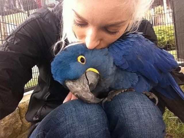 Talking Hyacinth Macaw Parrots ready now FOR SALE ADOPTION
